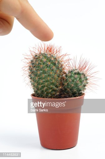 man pressing his finger on a mini cactus stock photo