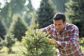 A man pruning an organically grown Christmas tree.