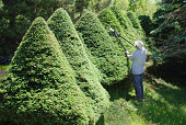 man pruning large topiary spruce trees