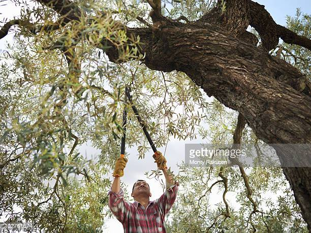 Man pruning olive tree