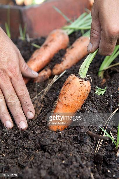 man pulling a carrot out of the ground