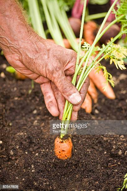 Man pulling carrot from the ground.