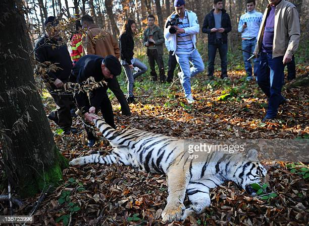 A man pulls a Siberian tiger shot dead in a forest hours after it escaped from the local zoo of Sibiu central Romania on December 13 2011 The tiger...