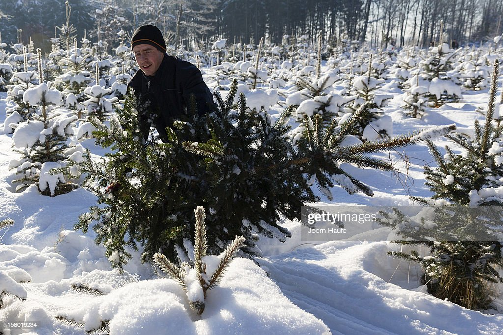 A man pulls out a Christmas tree he chose and cut down himself in a forest on December 8, 2012 in Fischbach, Germany. Forestry officials in the state of Saxony officially opened the 2012 Christmas tree season for people who want to retrieve their tree from designated forests rather than just buying it readily cut.