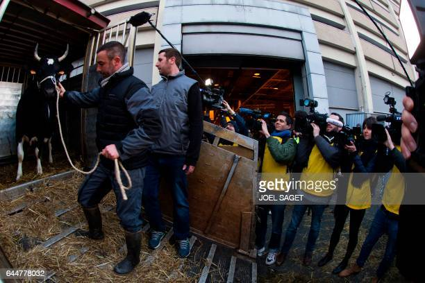 A man pulls out of a truck the mascot cow Fine as journalists film its arrival at the Salon de l'Agriculture on February 24 in Paris Nearly 4000...