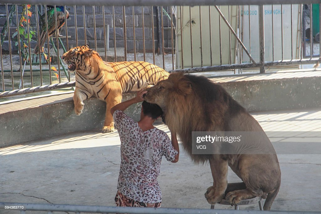 A man puts his head into a lion's mouth during the performance at a tourist attraction on August 23 2016 in Huzhou Zhejiang Province of China...