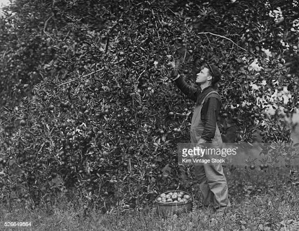 A man reaches up to an apple tree and picks the fruit