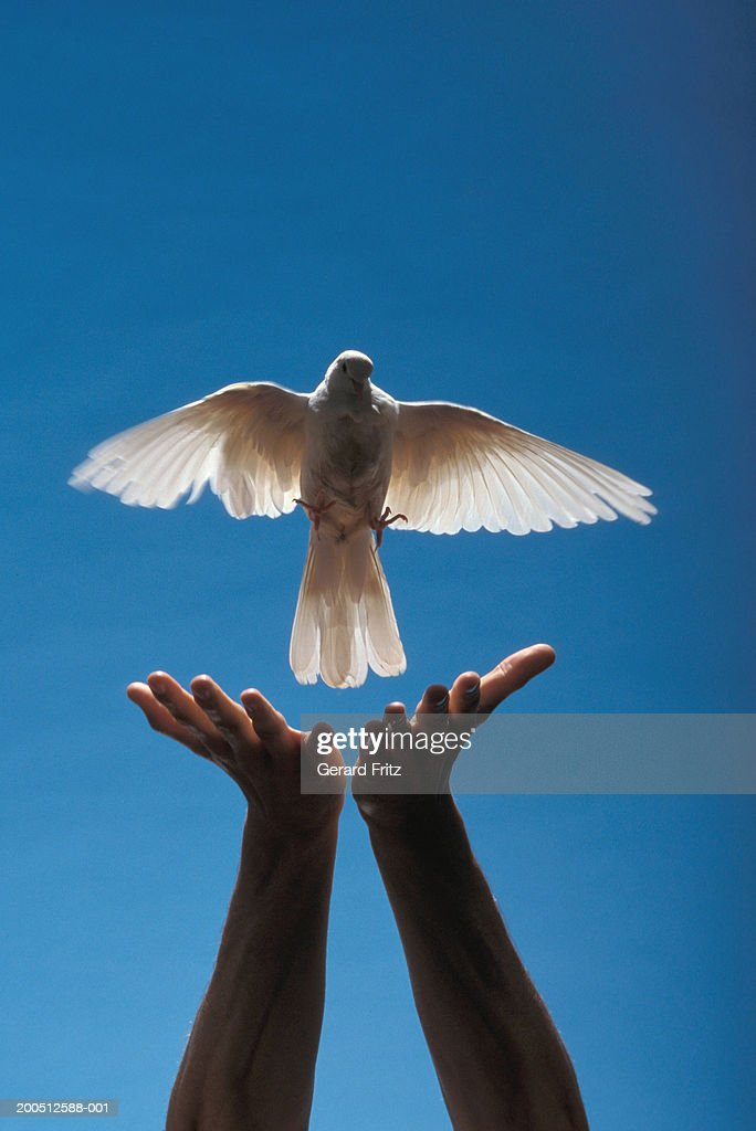 Man releasing dove, close-up of hands : Stock Photo
