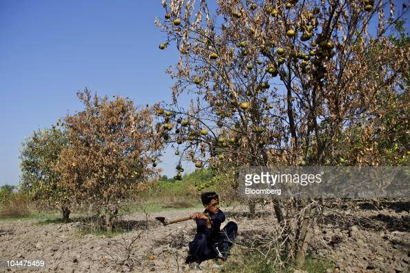 A man removes destroyed fruit trees from his orchard near Muzaffargarh in Punjab province Pakistan on Saturday Sept 25 2010 Floods that began in...
