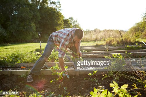 Man removing weeds from vegetable garden