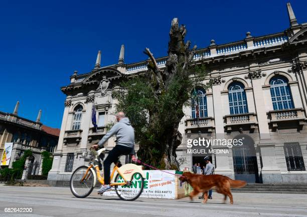 A man rides a bicycle past a 1000 years old and 12 meters high olive tree exhibited at the Leonardo da Vinci park on May 13 2017 in Milan The olive...