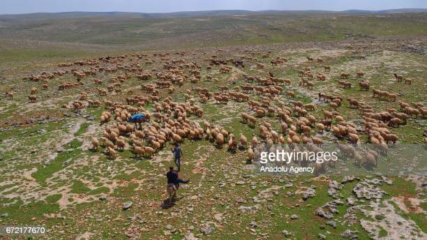A man rides a donkey as the other man herds sheep on grassland in the Karacadag region of Siverek district in Sanliurfa Turkey on April 22 2017...