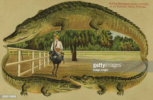 Man Riding Bareback on an Ostrich at an Ostrich Farm Florida Embossed Alligator BorderPublisher SLangsdorf Co New York Made in Germany circa 1905