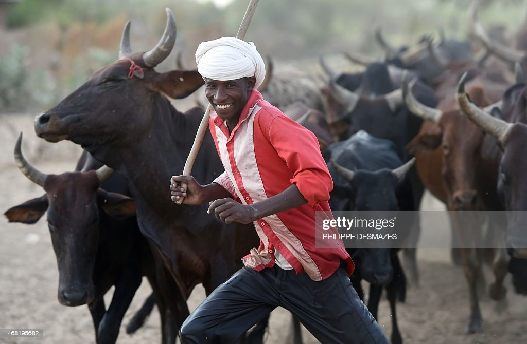 A man runs to control his herd of cows in the village of Guite in Chad's lake region north of the capital NDjamena on March 30 2015 AFP...