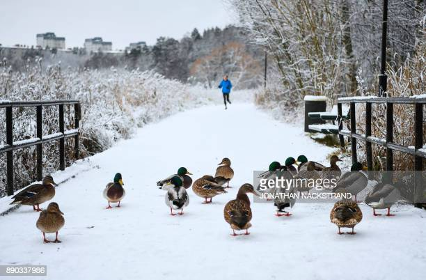 A man runs towards a group of ducks after snow fall on December 11 2017 in Sundbyberg near Stockholm High winds and heavy snow in Europe on Monday...