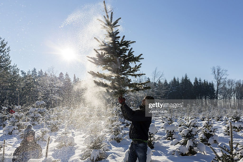 A man shakes a Christmas tree he chose and cut down in a forest on December 8, 2012 in Fischbach, Germany. Forestry officials in the state of Saxony officially opened the 2012 Christmas tree season for people who want to retrieve their tree from designated forests rather than just buying it readily cut.