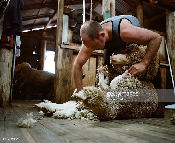 Man shearing merino ram
