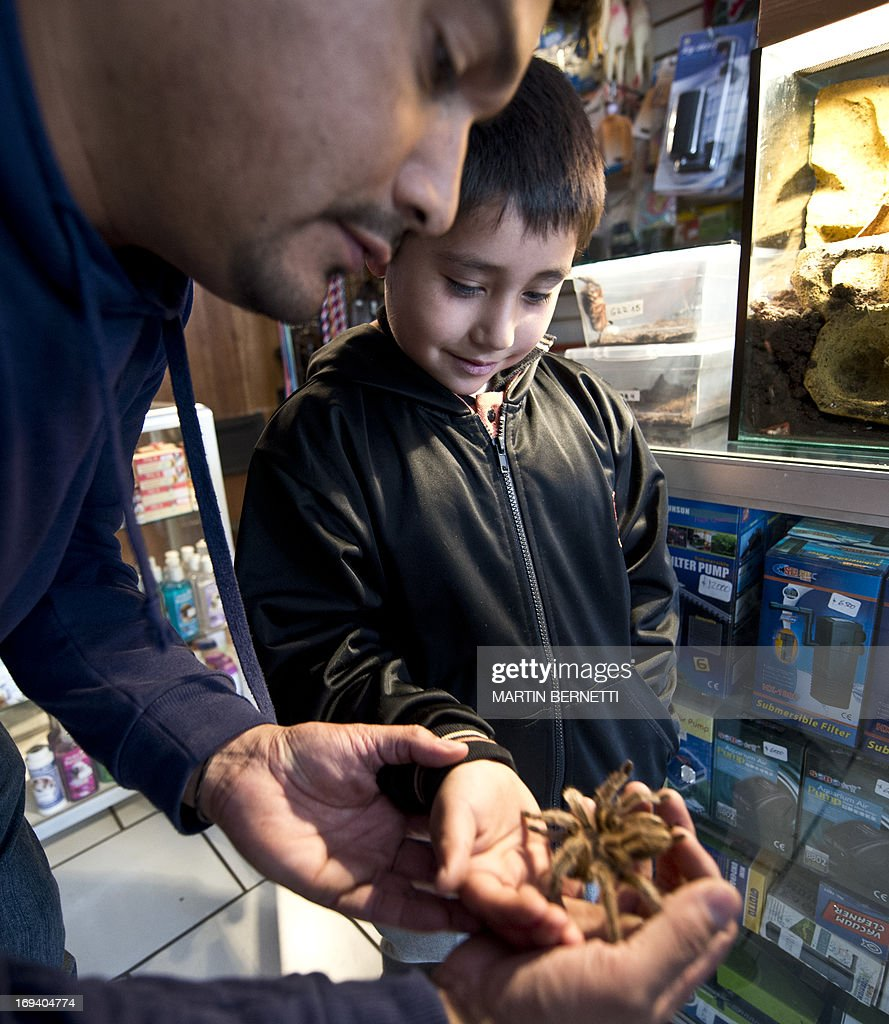 A man shows his son a spider for sale at an exotic animals shop in Batuco, some 30 km north of Santiago on May 22, 2013. Orellana's farm breeds a species of spiders (Grammostola mollicoma) --which despite its big size are harmless for humans-- and exports them with great success to Europe, Asia and The U.S.A. to be kept as pets. AFP PHOTO / Martin BERNETTI