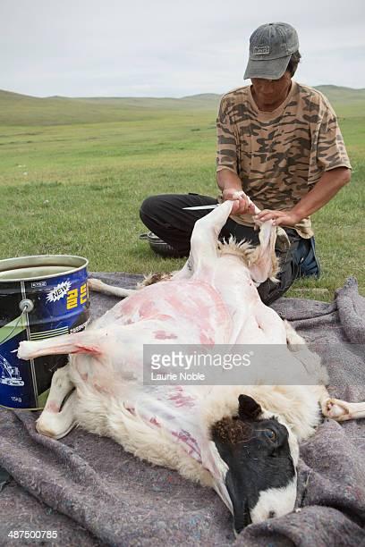Man skinning goat, Tuv, Mongolia
