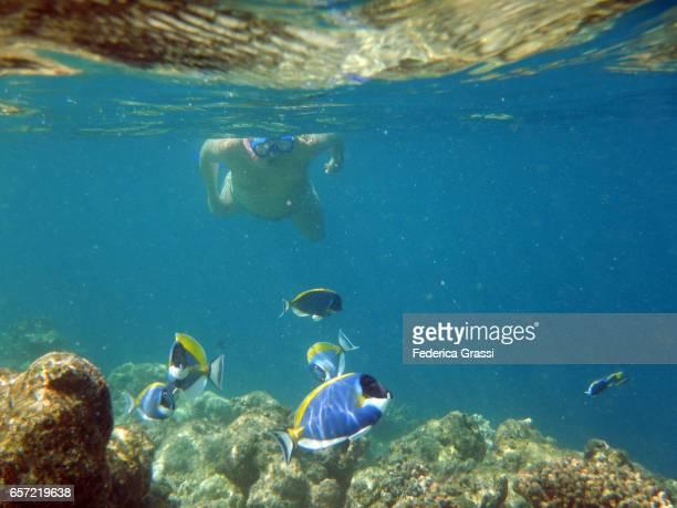 Man Snorkeling With Powder Blue Surgeonfish