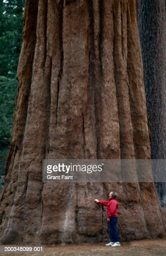 Man standing at base of giant redwood (Sequoia sempervirens)