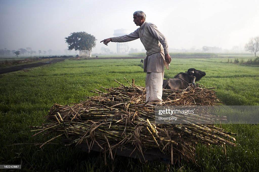 A man stands atop a cart of harvested sugarcane in a field in the outskirts of Modinagar, Uttar Pradesh, India, on Tuesday, Feb. 19, 2013. Mills in Uttar Pradesh state, set to be India's largest sugar producer in 2012-2013, may continue cane crushing until April 30, Uttar Pradesh Sugar Mills Association President C.B. Patodia said in a phone interview. Photographer: Prashanth Vishwanathan/Bloomberg via Getty Images