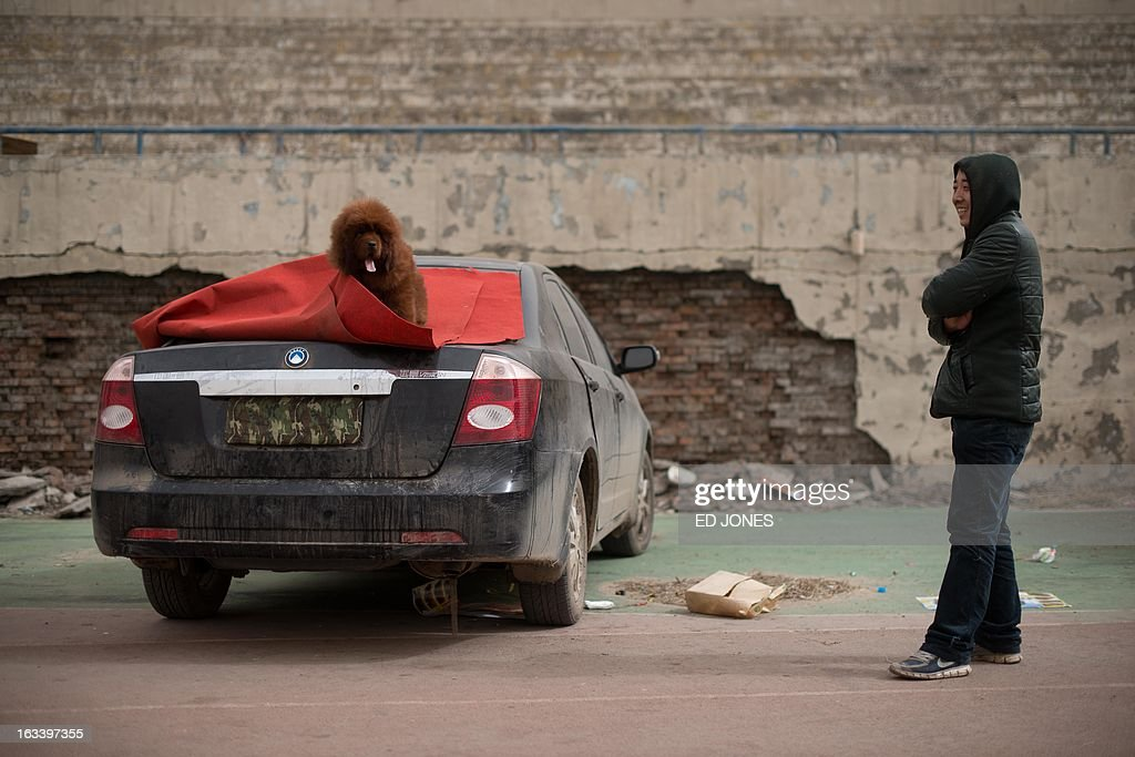 A man stands beside a Tibetan mastiff dog displayed for sale at a mastiff show in Baoding, Hebei province, south of Beijing on March 9, 2013. Fetching prices up to around 750,000 USD, mastiffs have become a prized status-symbol amongst China's wealthy, with rich buyers across the country sending prices skyrocketing. Owners say the mastiffs, descendents of dogs used for hunting by nomadic tribes in central Asia and Tibet are fiercely loyal and protective. Breeders still travel to the Himalayan plateau to collect young puppies, although many are unable to adjust to the low altitudes and die during the journey. AFP PHOTO / Ed Jones