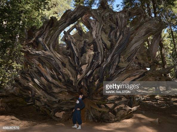 A man stands beside the stump of a fallen giant Sequoia tree at the Sequoia National Park which scientists claim are under threat from a diminishing...