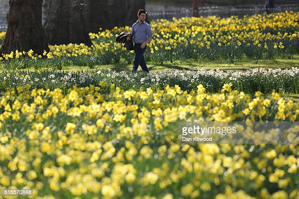 A man strolls past daffodils in St James's Park on March 14 2016 in London England Great Britain is to enjoy several days of mild seasonal weather...