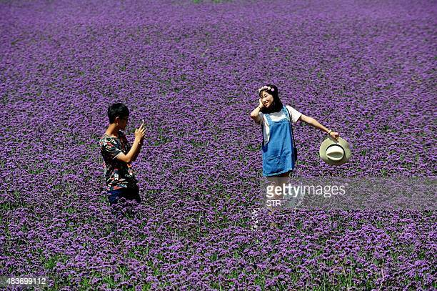 A man takes a photo with his cellphone of a girl in a lavender field in a park in Shenyang northeast China's Liaoning province on August 12 2015...