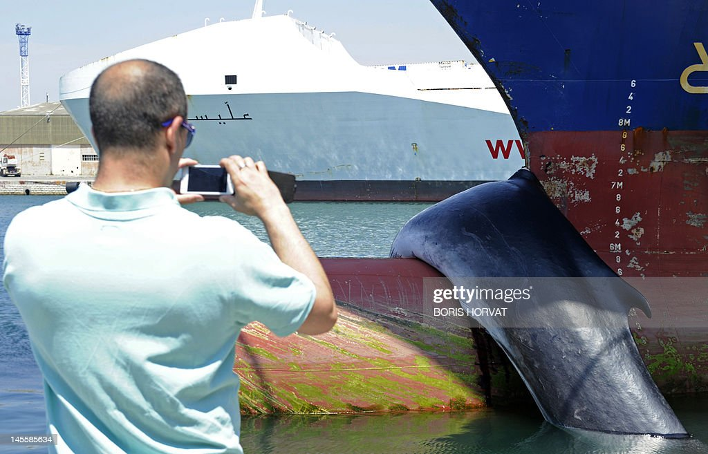 A man takes a photograph of the dead body of a whale, hooked on the bow of a ship, is photographed on June 2, 2012 in Marseille, southern France. The animal was collided by the cargo boat 'Mont Ventoux' of the CMA-CGM on the line between France and Tunisia and was discovered dead upon the arrival of the ship in the Seaport of Marseille.