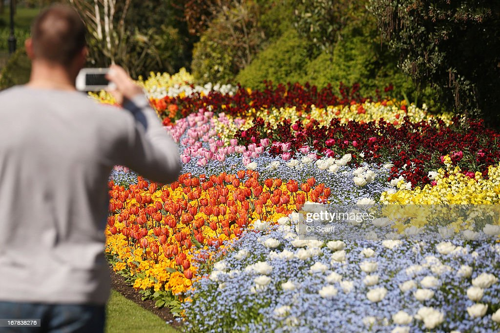 A man takes a photograph of tulips in full bloom in St James's Park on May 1, 2013 in London, England. Following an unseasonally cold start to the year, temperatures across the UK are beginning to increase.
