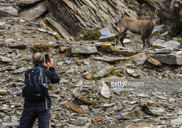 A man takes a picture of a mountain sheep climbing the famous 'Couloir du Goûter' known as the best way to climb atop the MontBlanc peak on August 27...