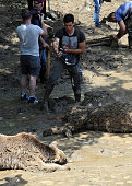 A man takes pictures of the bodies of bears at a flooded zoo in the Georgian capital Tbilisi on June 15 2015 Lions tigers and even a hippopotamus...