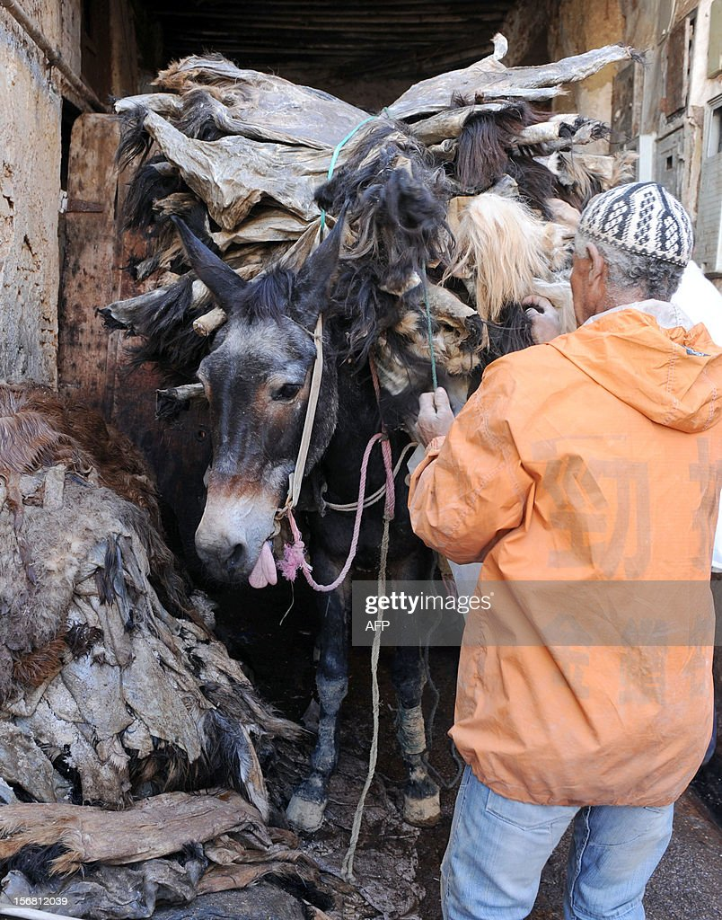 A man takes sheepskins from his mule at the tanneries in Fes on November 21, 2012. AFP / PHOTO / FADEL