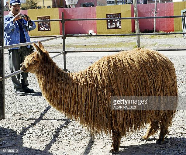 A man takes snapshots of an alpaca May 9 2009 during the IV Fair of Millenarian Camelids at La Ceja de El Alto 12 km from La Paz This yearly event is...