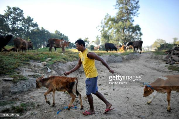 A man taking out cow from hut to offer ritual puja worship during the procession of Tihar or Deepawali and Diwali celebrations at Kathmandu Nepal on...