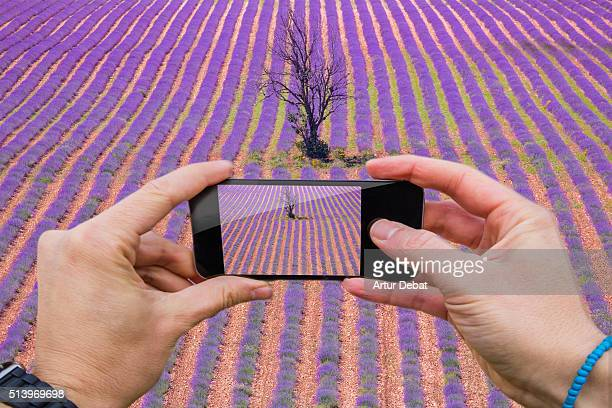 Man taking pictures from personal point of view with smartphone of the lavender fields with nice arranged lines with alone tree in the Provence region on summer.