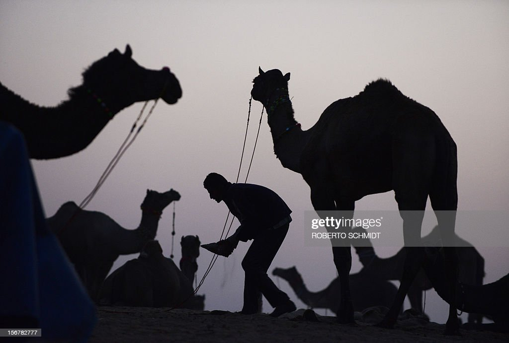 A man tends to his camels for sale on the outskirts of the small town of Pushkar in the early evening of November 20, 2012. The annual five-day camel and livestock fair, held in the town of Pushkar in the state of Rajasthan is one of the world's largest camel fairs, and apart from buying and selling of livestock it has become an important tourist attraction. AFP PHOTO/Roberto Schmidt