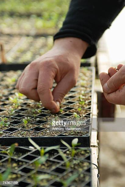 Man thinning seedlings, close-up of hands