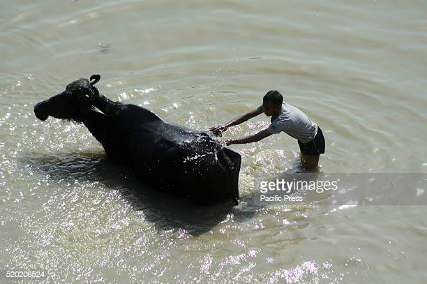 A man throws water on his buffalo to cool off during a hot day in Allahabad