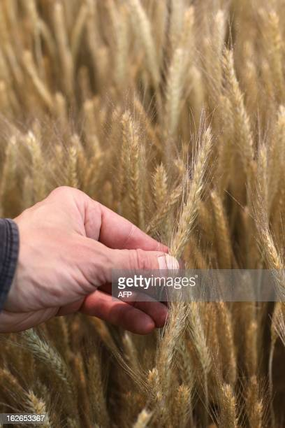 A man touches ears of barley at the International Agriculture Fair of Paris at the Porte de Versailles exhibition center on February 25 2013 in Paris...