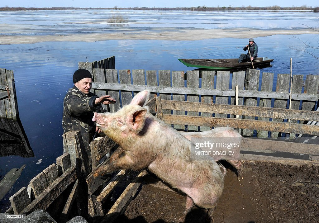 A man touches his pigs during spring flood in a village of Snyadin some 300 km south of Minsk, on April 9, 2013. Belarus will take all necessary precautions to minimize the consequences of spring floods, Belarus President Alexander Lukashenko said as he visited Minsk-based Sukno Company on 5 April. AFP PHOTO / VIKTOR DRACHEV