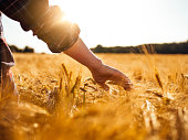 Male farmer walking through a summer wheat field and touching the golden heads of wheat with gentle sunflare