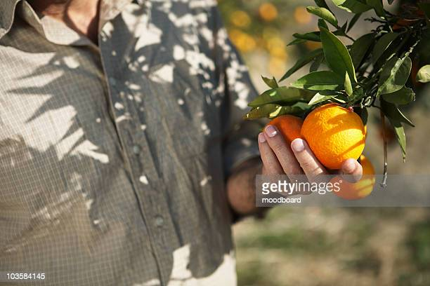 Man touching oranges on tree, mid section