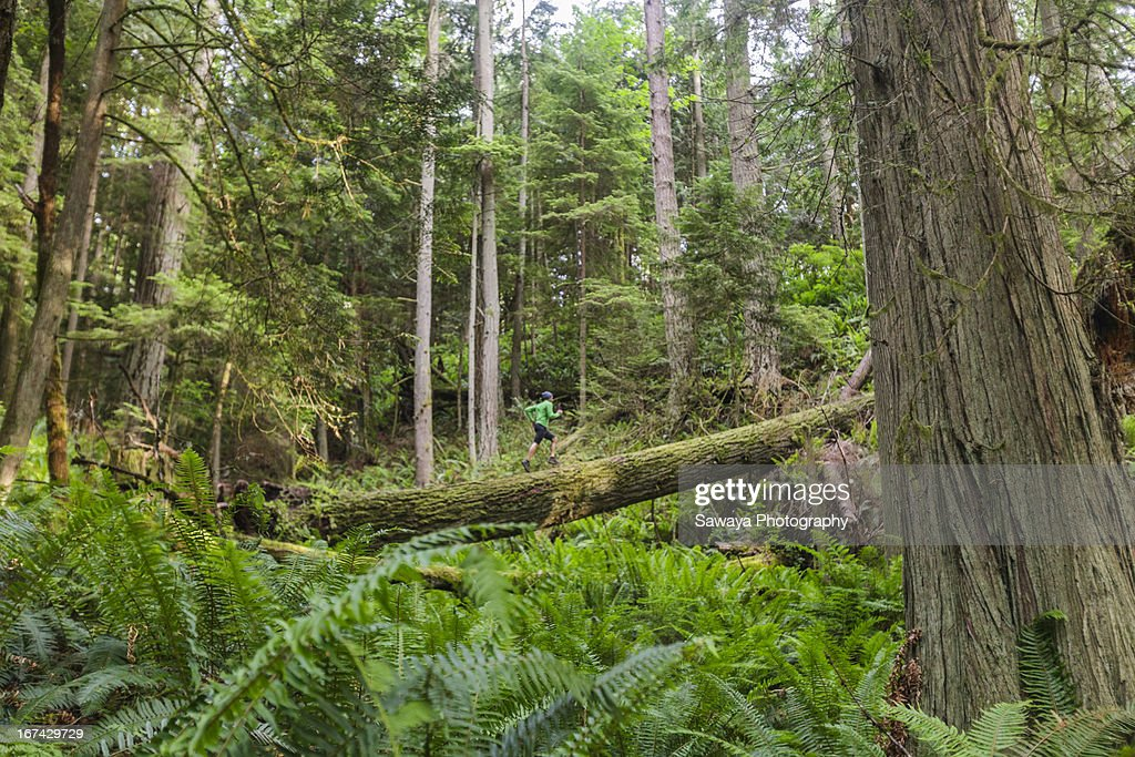 A man trail runs through old growth forest : Stock Photo