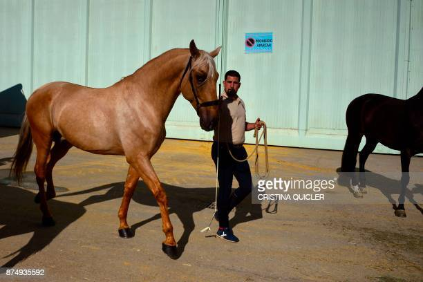 A man trains a horse before an exhibition at the Sicab 2017 International Horse fair in Sevilla on November 16 2017 / AFP PHOTO / CRISTINA QUICLER