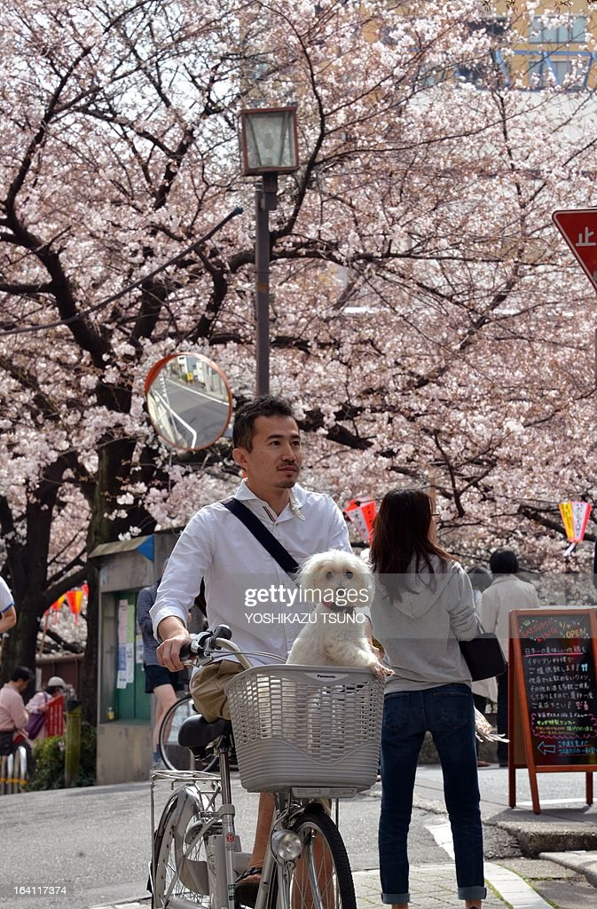 A man transports his little dog in the basket of his bicycle as he walks past cherry blossom trees along a riverside promenade in Tokyo on March 20, 2013. Viewing of cherry blossoms is a national pastime and cultural event in Japan, where millions of people turn out to admire them annually. Japan's weather agency announced on March 16 the official beginning of cherry blossom season in Tokyo, equalling the record for the earliest ever start. AFP PHOTO / Yoshikazu TSUNO