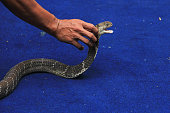 A man tries to get closer to a King Cobra snake during a wildlife attraction held to foster love of animals to the public at the Mangkang zoo in...