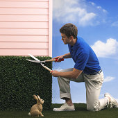 Man trimming hedge near rabbit